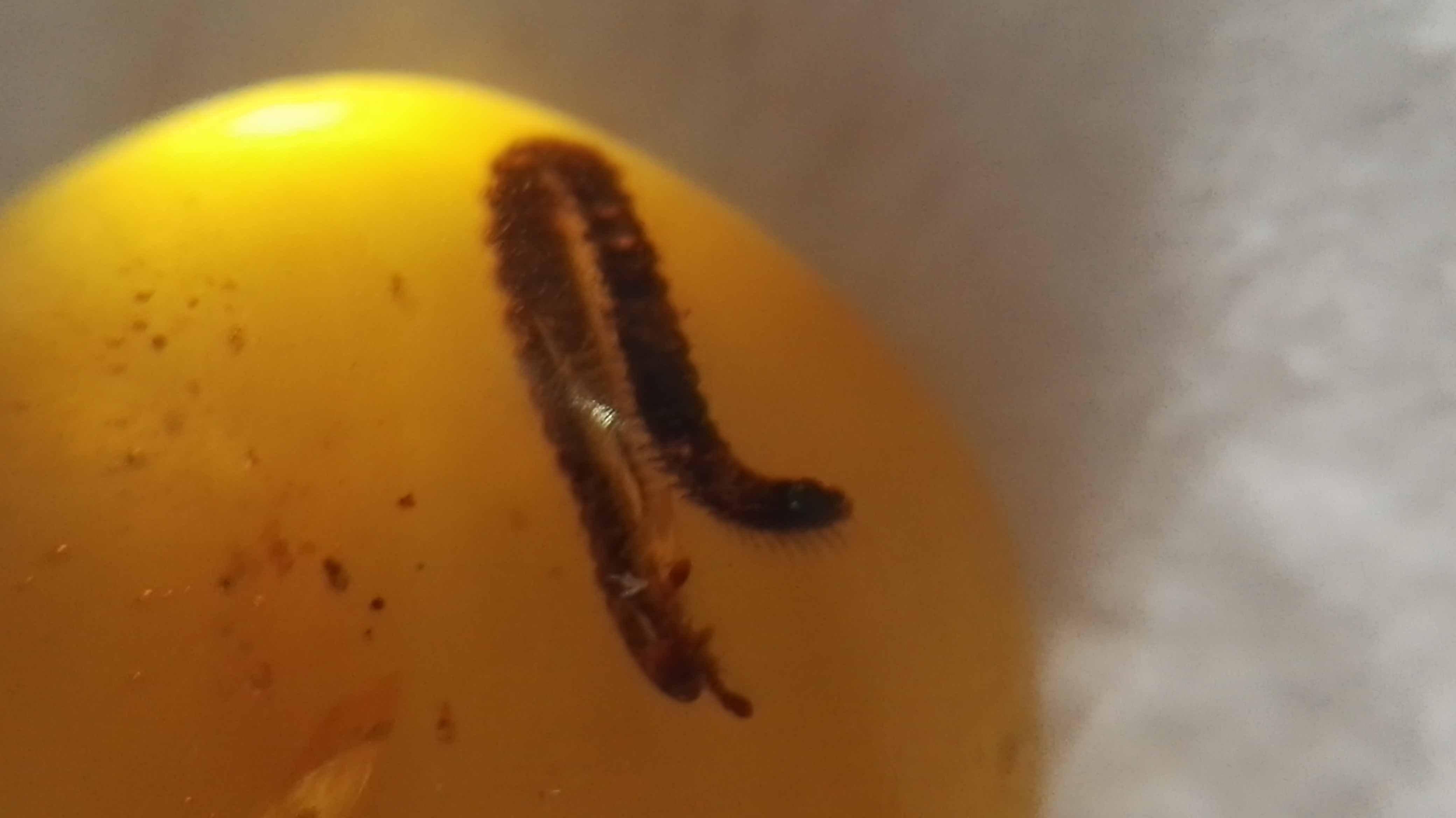 Millipedes in amber